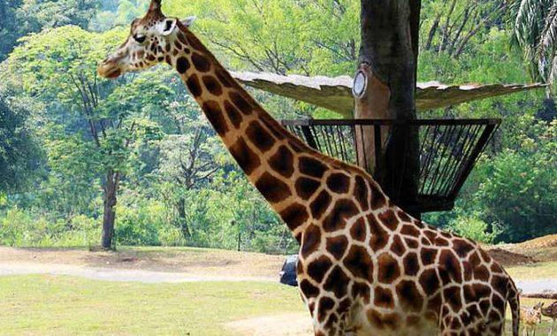 penginapan murah dekat taman safari cisarua bogor