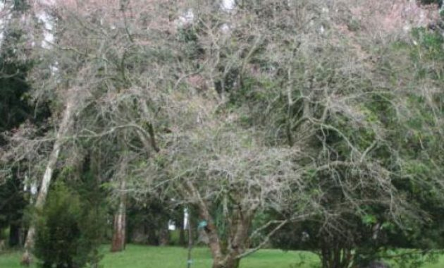 taman bunga sakura di kebun raya cibodas