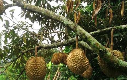 alamat kebun durian warso farm bogor