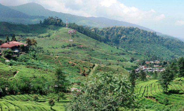 sejarah wisata penginapan lokasi perkebunan teh gunung mas puncak